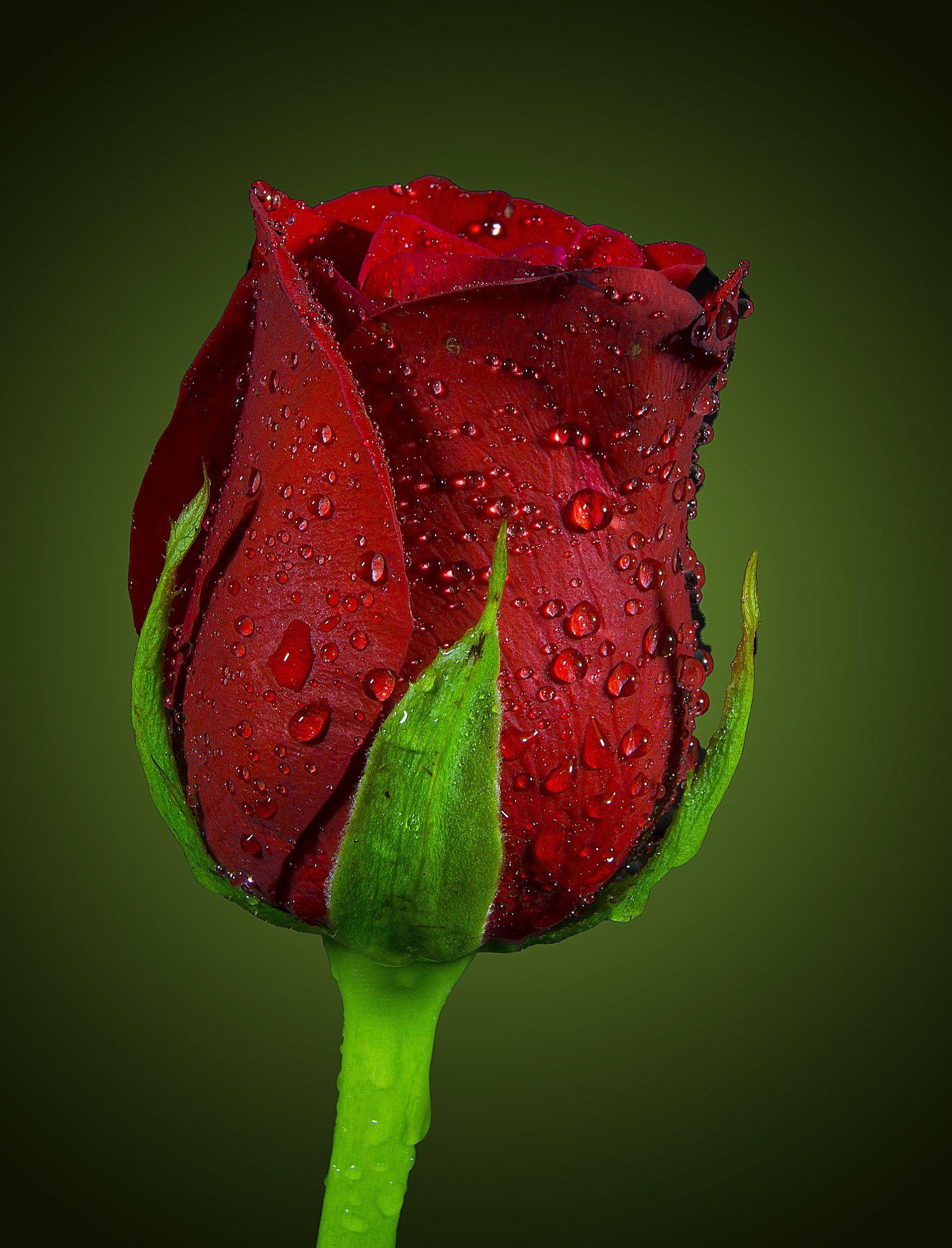 Emotional Heart Beautiful Red Roses Beautiful Rose Flowers Beautiful Flowers Wallpapers