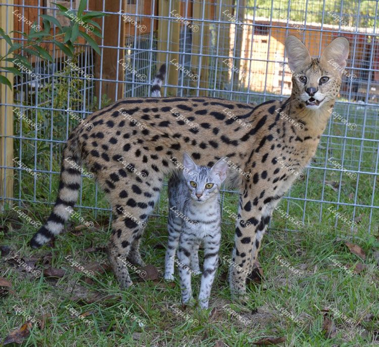 Adult Savannah Cat For Sale