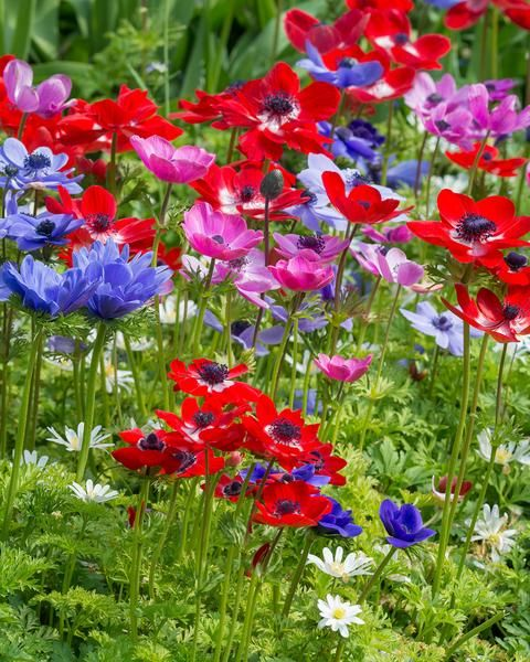 The poppy like flowers of the anemone coronaria de caen these anemone coronaria de caen mightylinksfo