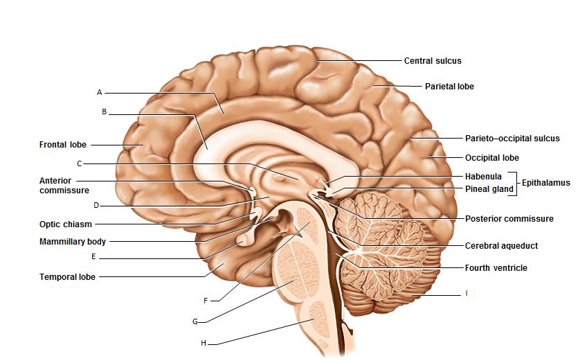 Lab On Cranial Nerves | brain | Pinterest | The brain, The human ...