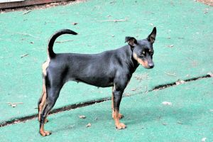 Poketo Is An Adoptable Miniature Pinscher Dog In Wichita Ks Come