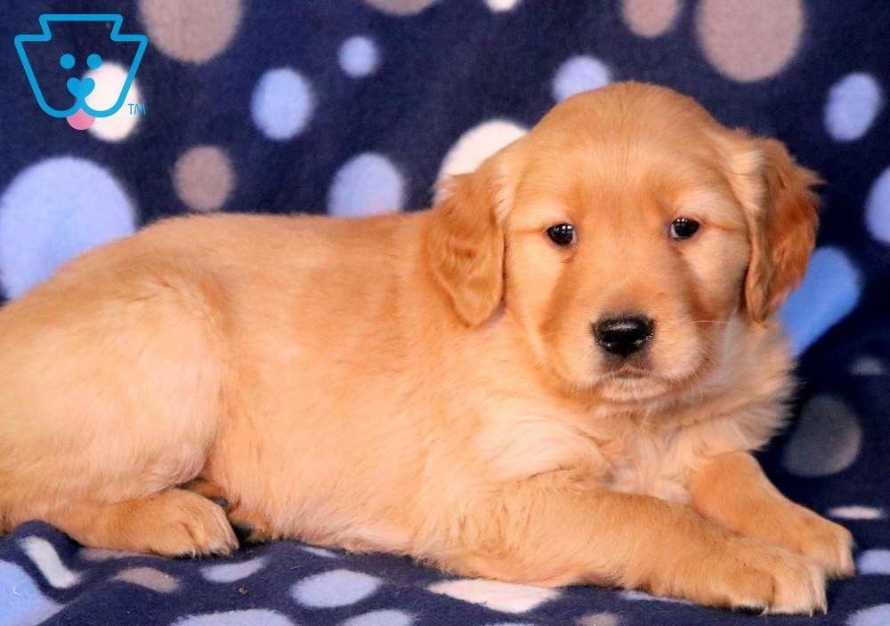Bart Golden Retriever Puppy For Sale Keystone Puppies
