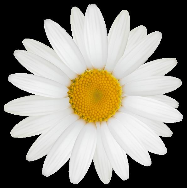 Daisy PNG Clipart Image Μαργαρίτες, Κατασκευές