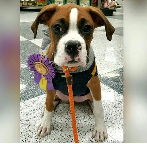 Dog Training And Socializationboxer dogboxer puppies
