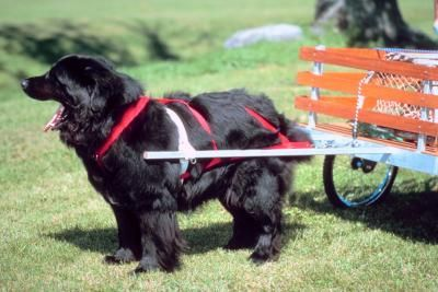 How To Make Easy Carting Harnesses For Dogs