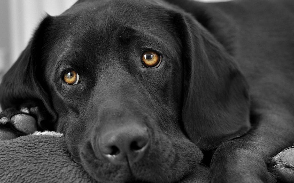 Daraunt On Twitter In 2020 Black Labrador Retriever Lab Puppies Dogs