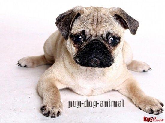 Pug Dog Animal Wallpaper Pugs Cats Dogs Mobile Wallpapers