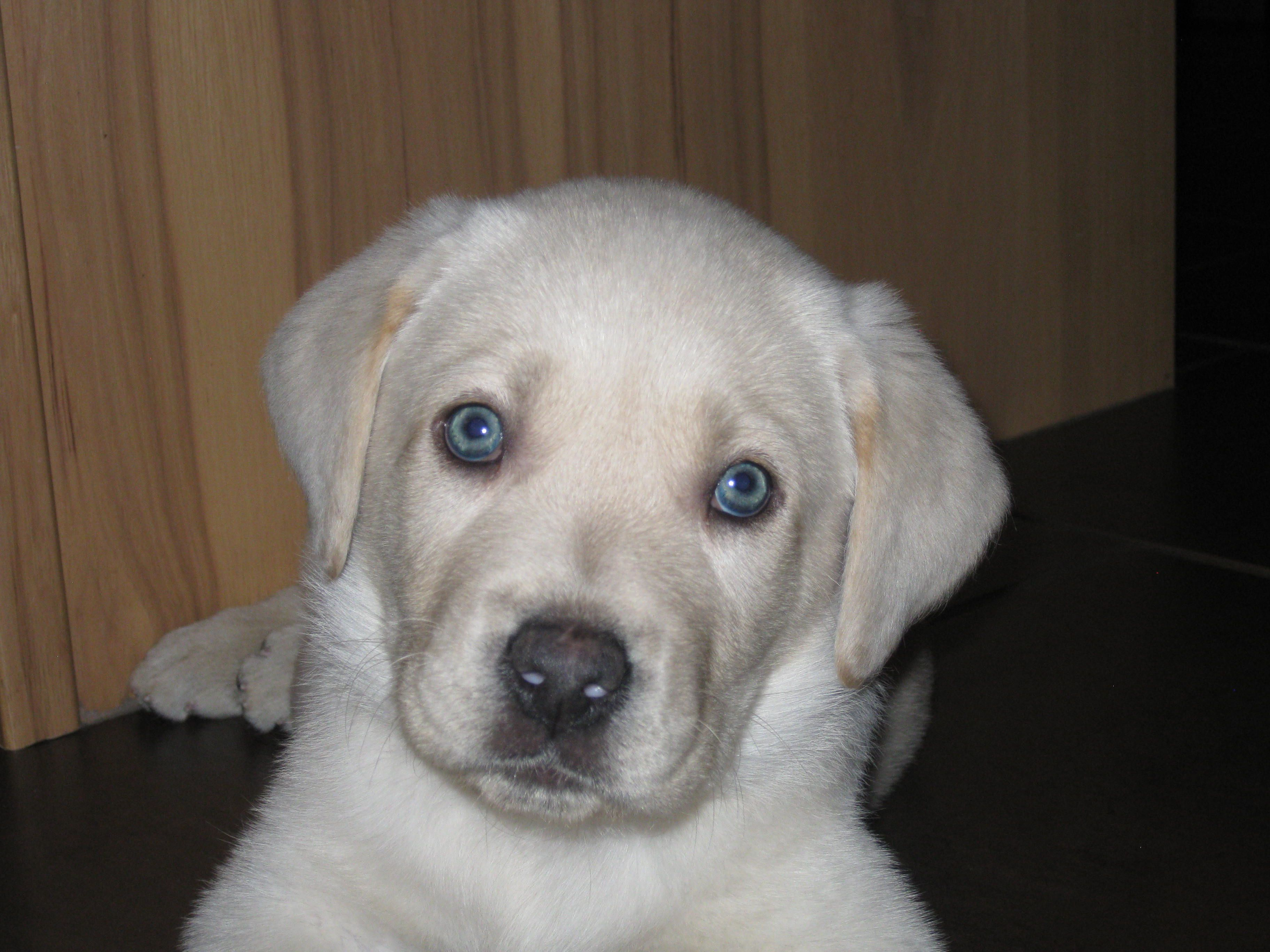Yellow Lab pup ... those blue eyes! | Lab puppies, I love ...