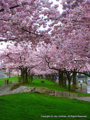 Blooming Cherry Trees On Portland Waterfront Park Beautiful Landscapes Lawn And Garden Trees To Plant