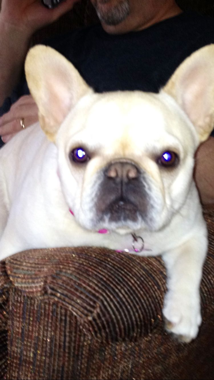 Shay An Adora Bull French Bulldog Puppy With Images French