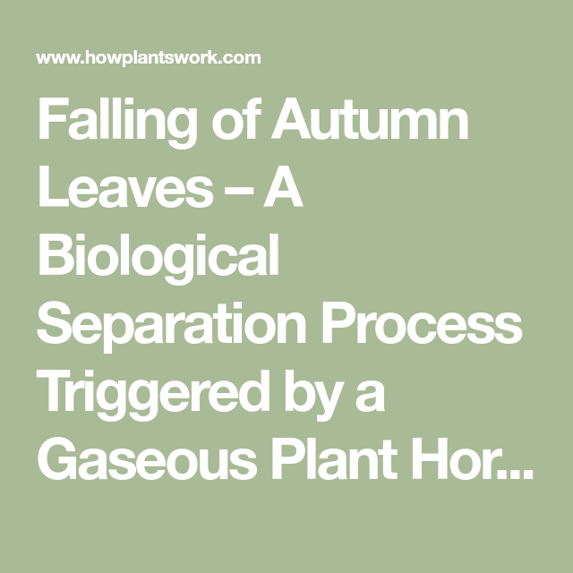 Falling of Autumn Leaves – A Biological Separation Process Triggered by a Gaseous Plant Hormone – How Plants Work #autumnleavesfalling