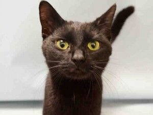 ♥ SAFE ♥ http://nyccats.urgentpodr.org/eliza-a1068701/ ***TO BE DESTROYED*** AWESOME, FRIENDLY PANTHER LADY TURNS FEARFUL AT ACC! ☆ELIZA roamed the building where she was found and was friendly with total strangers! So, how come she has a NEW HOPE RATING at the ACC? Eliza is 1 year LOVING KITTY WHO NEEDS A LOVING HOME! Please apply to FOSTER or ADOPT this sweetie now: helpcats@urgentpodr.org