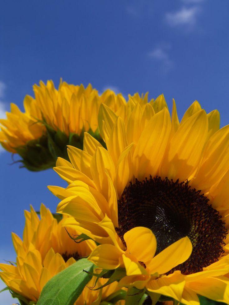 Girasole Sunflower Sunflower Garden Trees To Plant