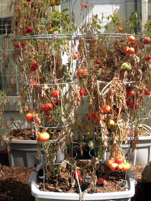 Tomato Russet Mites Gardening Garden Pests