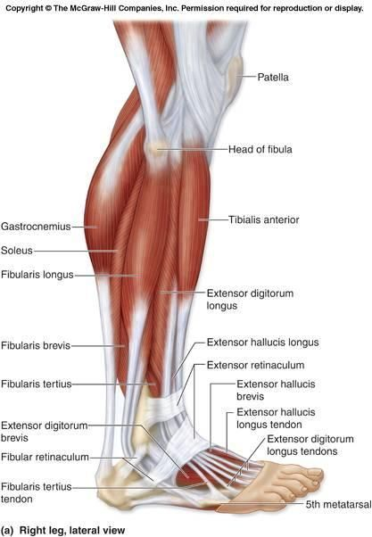 Pin by Caycee Frost on PA Anatomy | Pinterest | Peroneus longus ...