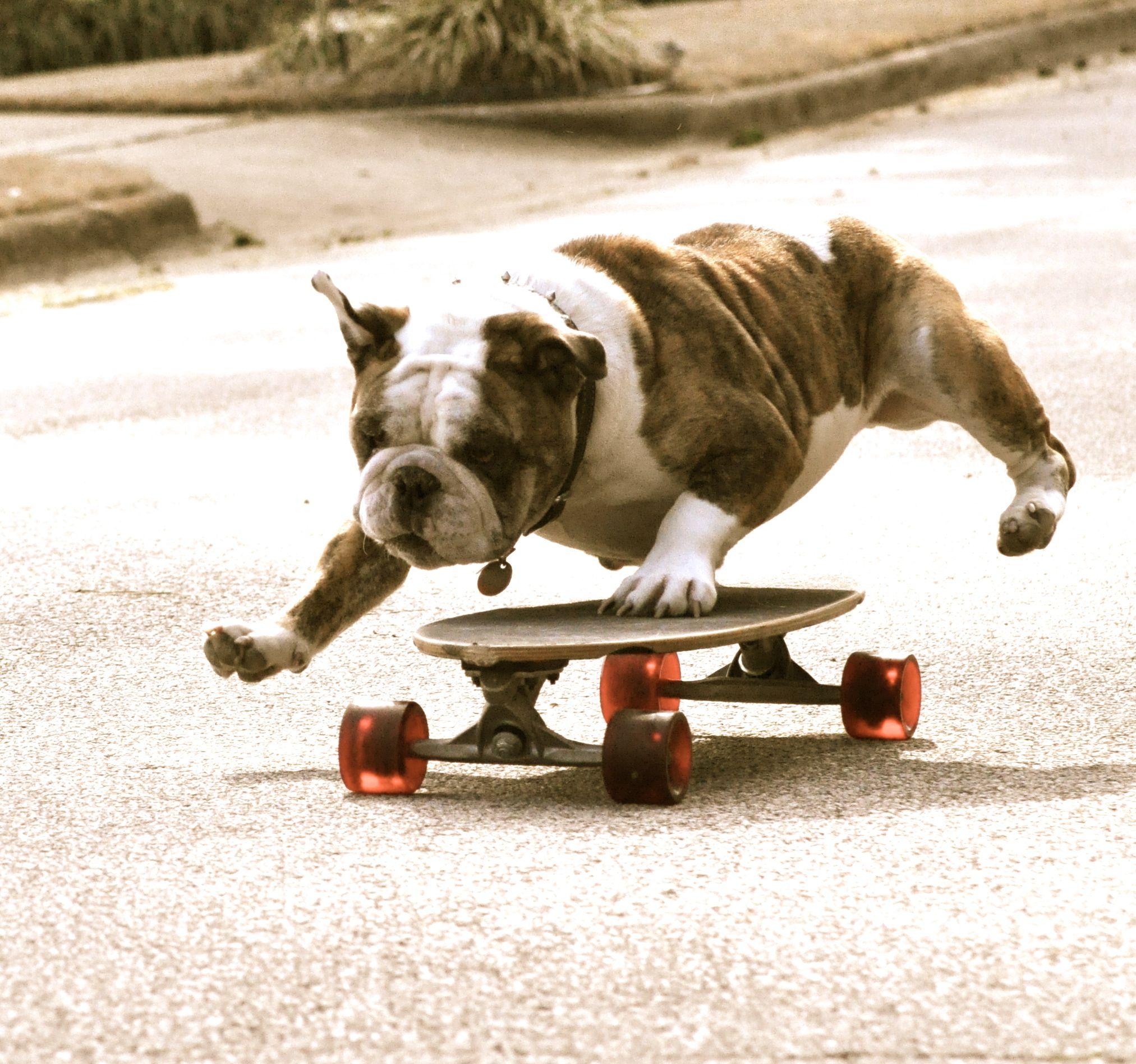 English Bulldog Look Mom One Paw Bulldog English Bulldog Paw