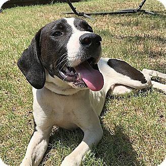 Oklahoma City Ok Great Dane Pointer Mix Meet Benji A Dog For