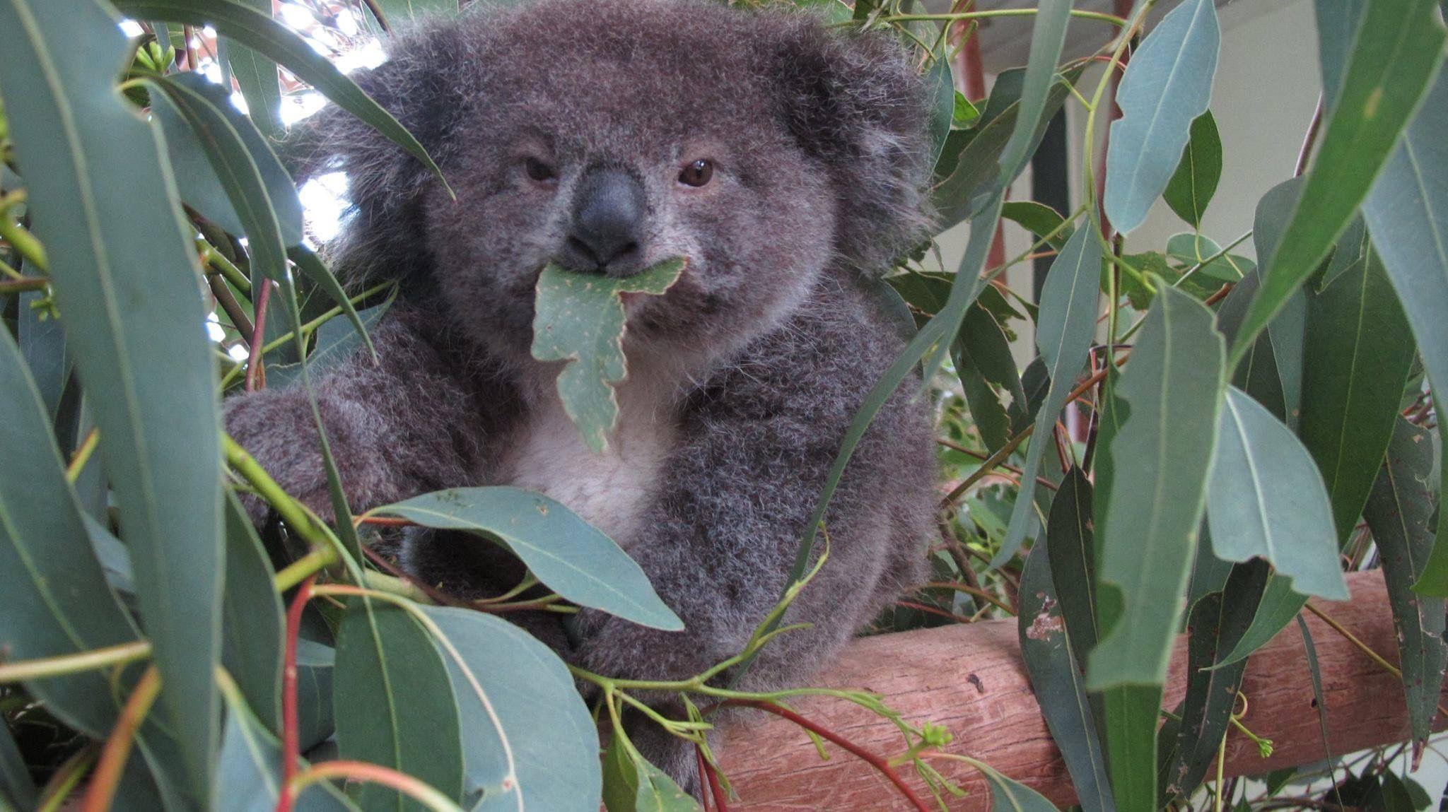 Pin By Adamllover Dutcher On Cute Koalas Pinterest Baby Koala