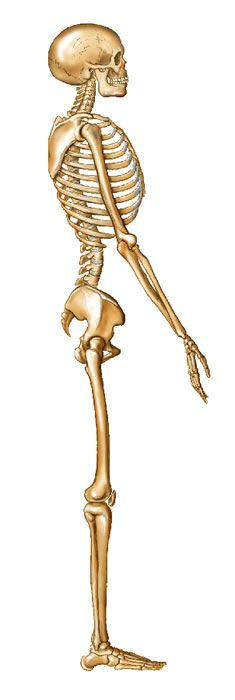 side view skeleton | front, back and side views of skeleton, Skeleton