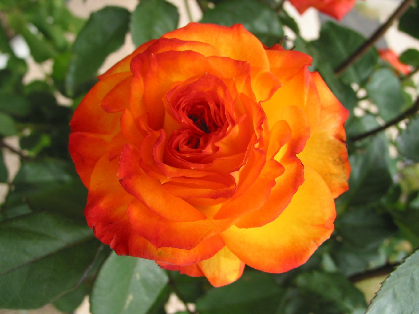Orange Garden Rose orange rose pictures for wallpaper | beautiful orange rose