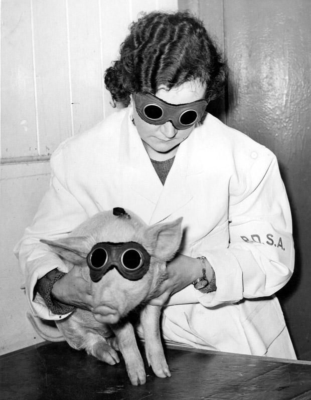 January 1938: A piglet which is being treated by the PDSA (People's Dispensary for Animals) in Ilford with a sun ray lamp, to cure a skin ailment. Photo courtesy of Getty Images.
