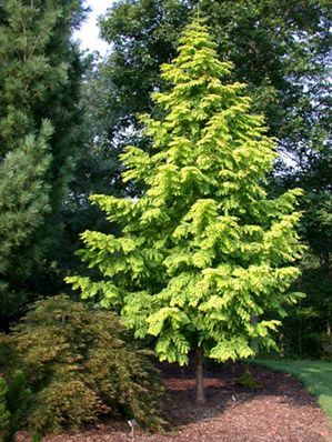 A golden variety of Dawn Redwood. Leaves yellow on opposite attached stems. Leaves are deciduous, in winter. Plant first found in Japan, and known under the name 'Ogon'. Believed to have come from irradiated seed.