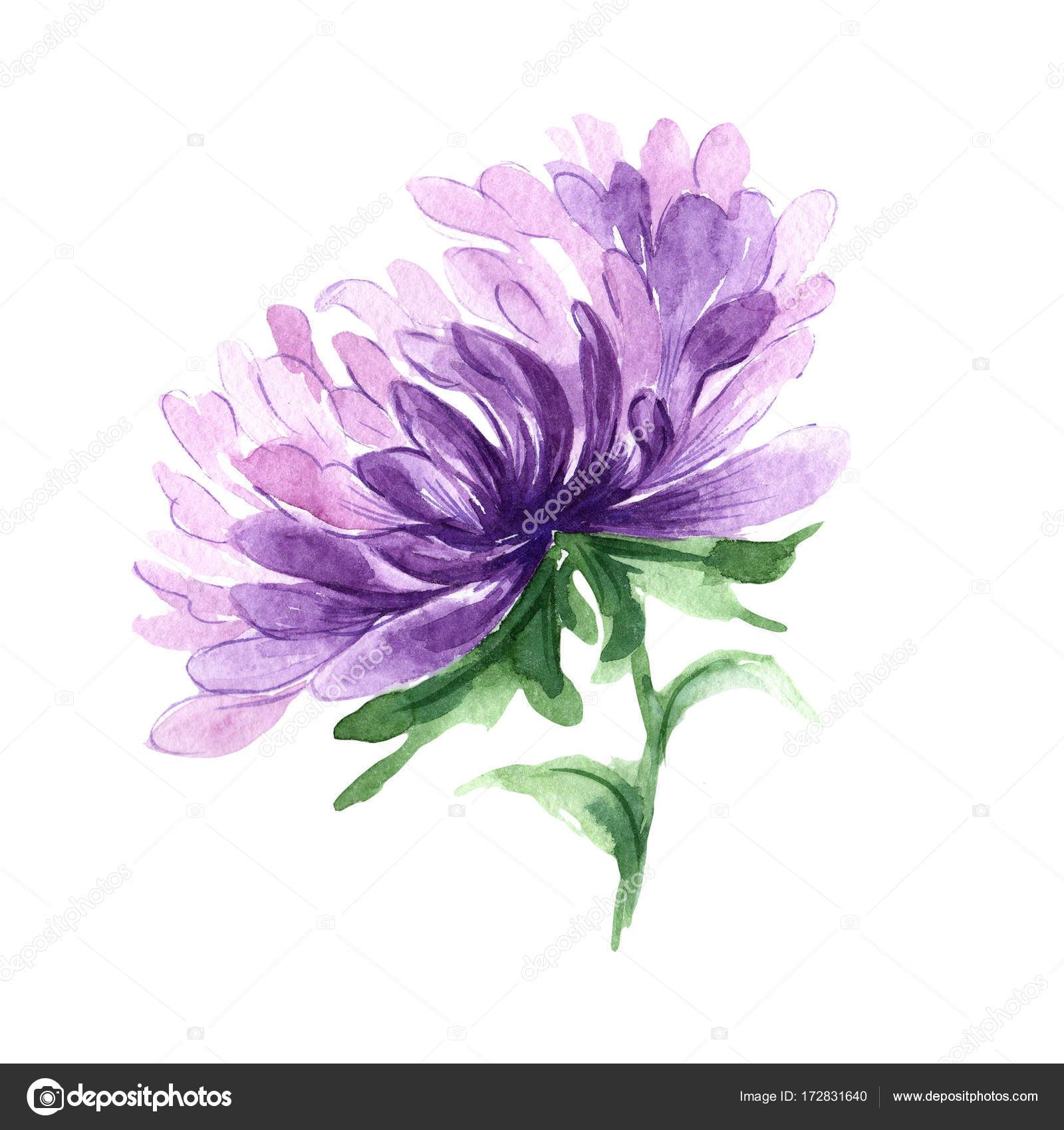Wildflower Aster Flower In A Watercolor Vattenfarg Blommor Malningar