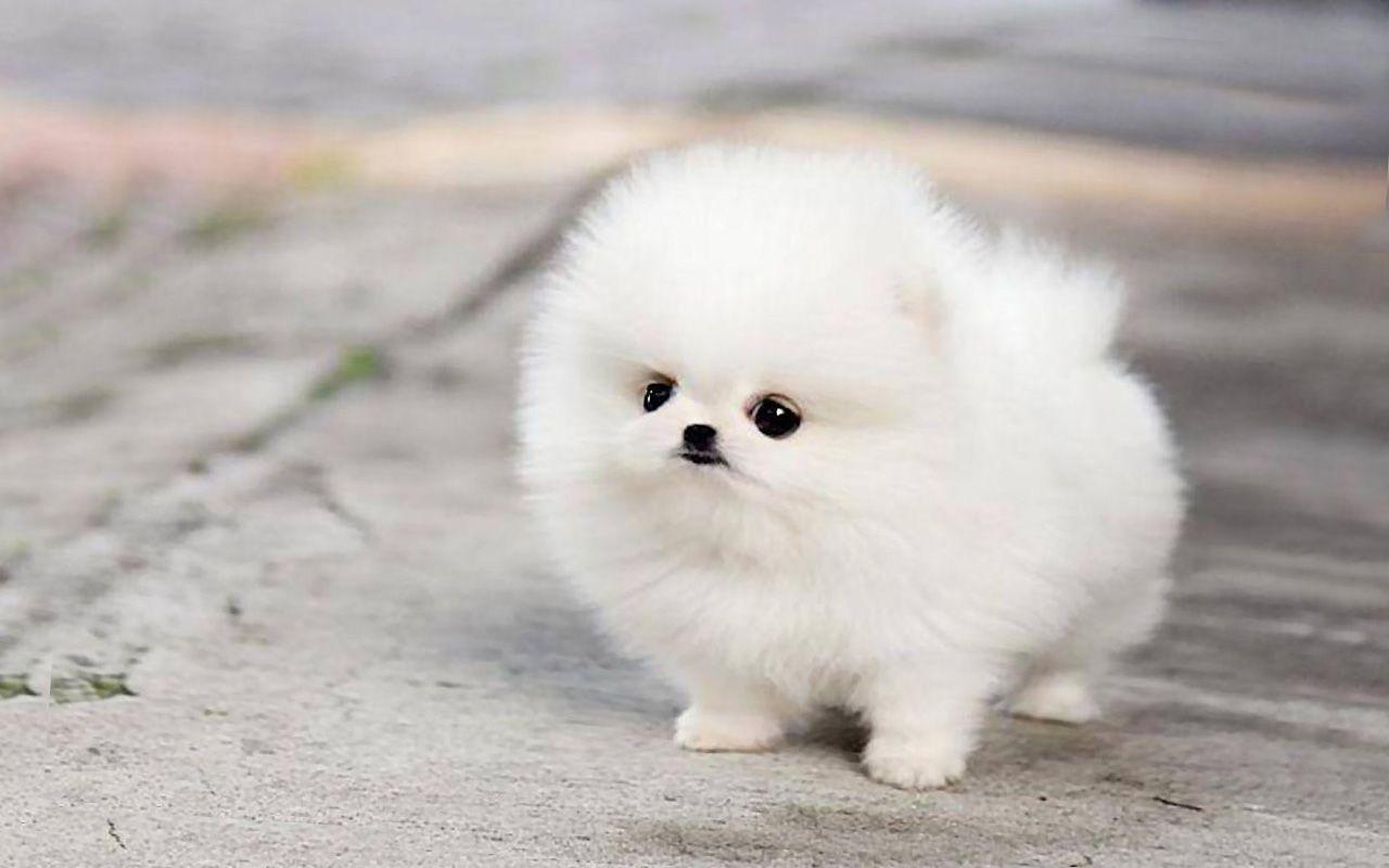 Miniature pomeranian husky pomeranian puppy teacup cute