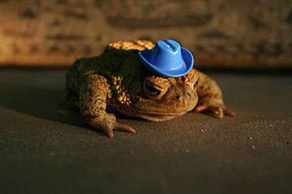 3f628bd1b cowboy hat on toad | Hats on Animals | Animals, Cowboy hats, Funny ...