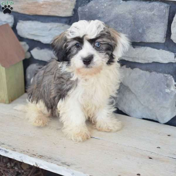 Shadow Havanese Puppy For Sale in Ohio HAVANESE DOGS