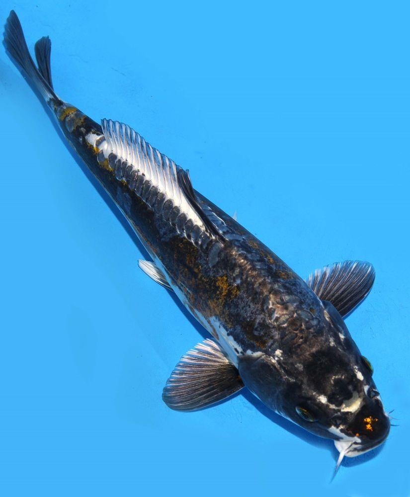 Live koi fish 10 11 black kikokutyu ghost koibay koi for Black koi fish