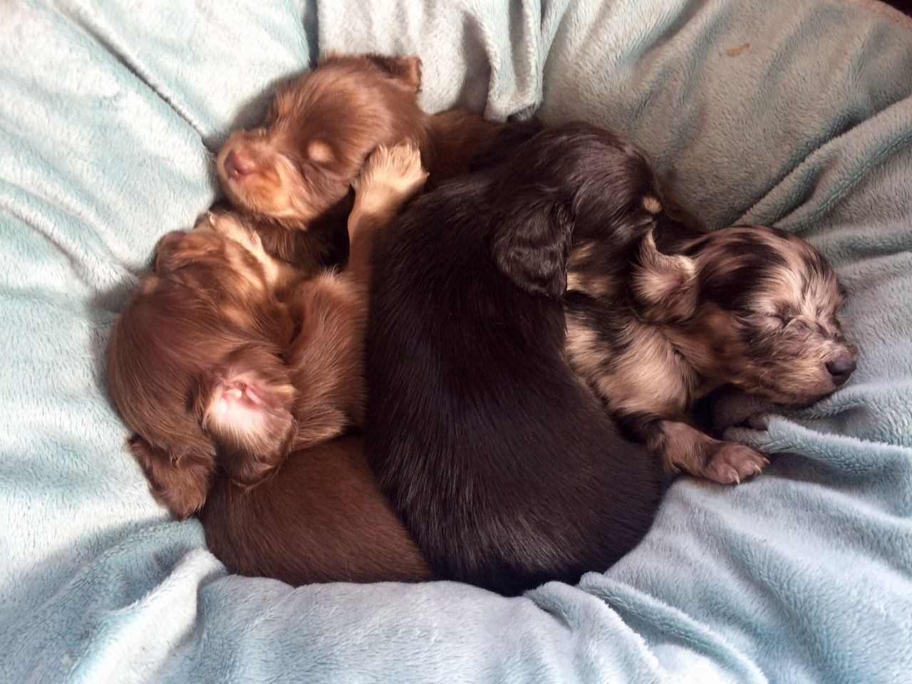 Beautiful Miniature Long Haired Dachshund Puppies Dachshund