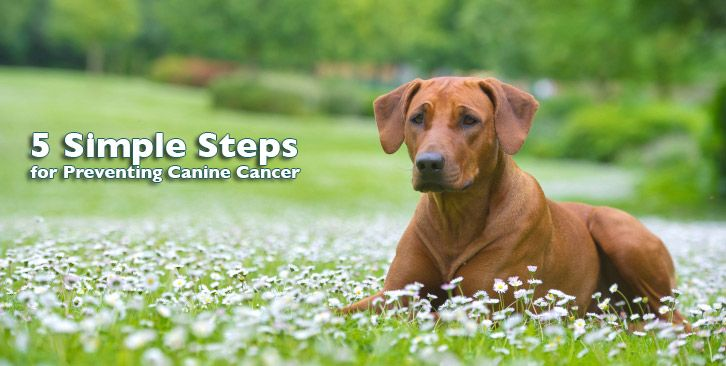 Did you know that half of all adult dogs will die from cancer? Beat the odds by following these five simple steps to prevent canine cancer