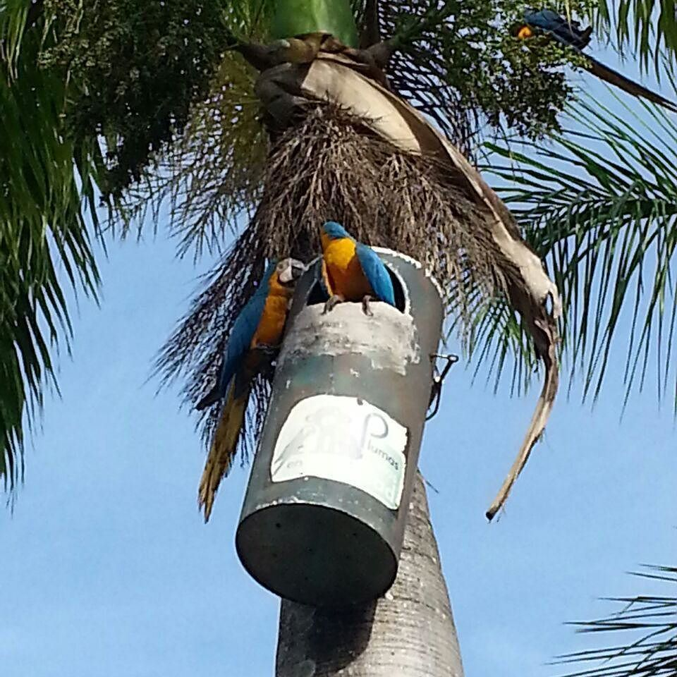 Guacamayas!!! #caracas #aves #parrot #guacamaya #igerscaracas #elnacionalweb #natural #nature #wonderful #instasize #instagood #instagramers #nofilter #citylife by pocchaquita78 http://www.australiaunwrapped.com/