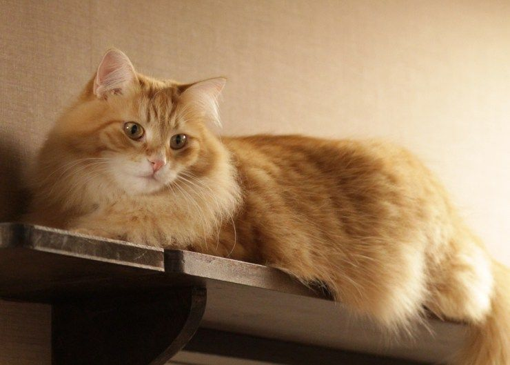 siberian cats are believed to be hypoallergenic despite this never being scientifically proven