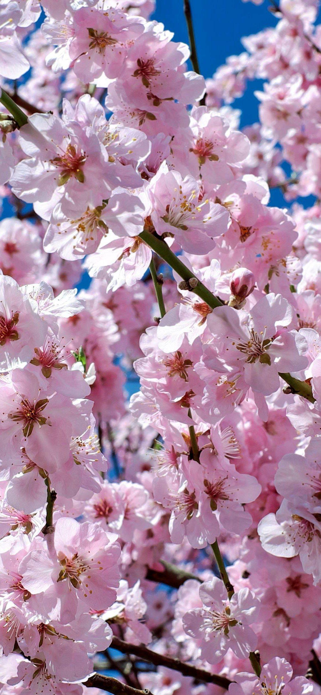 Japanese Cherry Trees Flowers Pink Tree Wallpaper Iphone X Wallpaper Japanese Cherry Tree Tree Wallpaper Iphone Pink Flowers Wallpaper