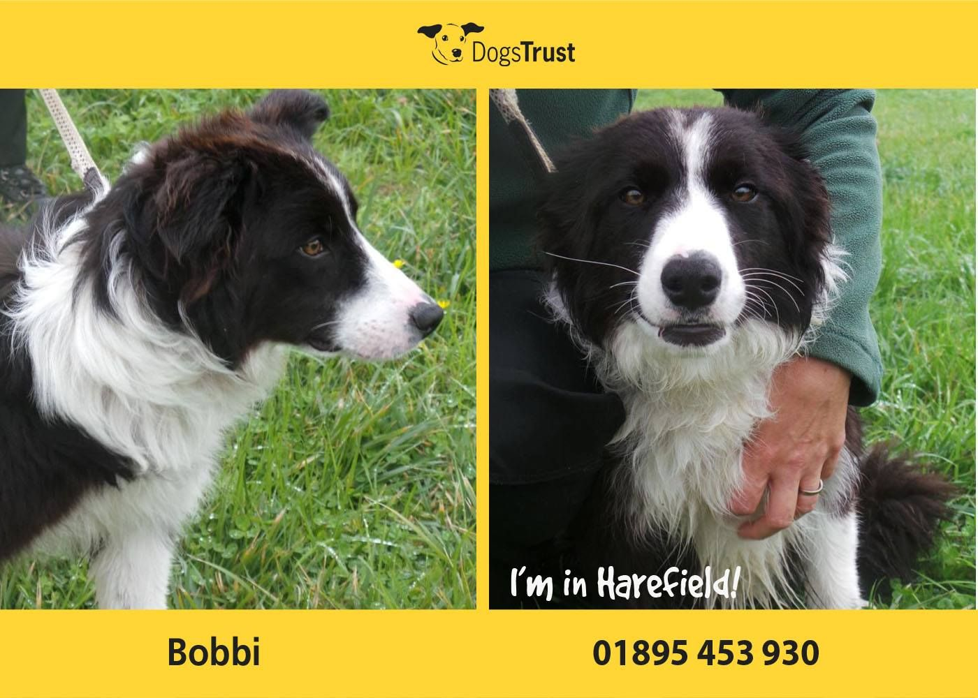 Border Collie Bobbi here from Dogs Trust Harefield is a