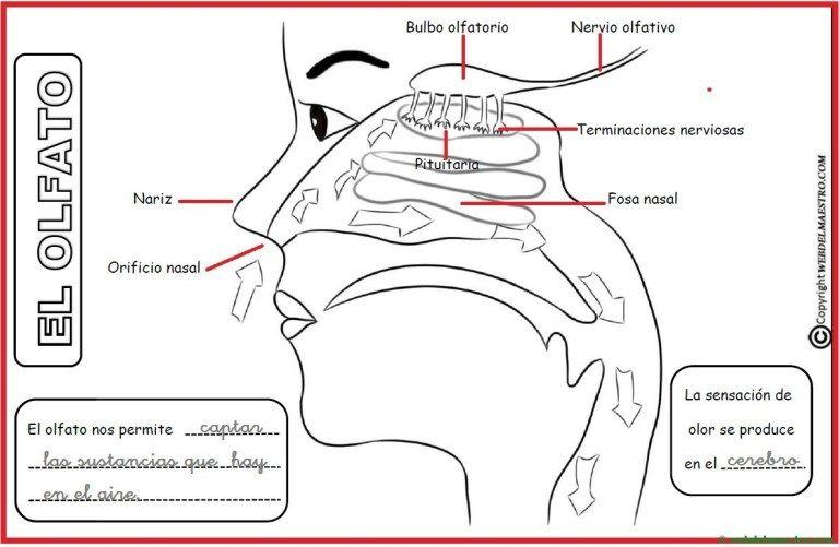 El Sentido Del Olfato Web Del Maestro Los Cinco Sentidos Ambientes De Aprendizaje