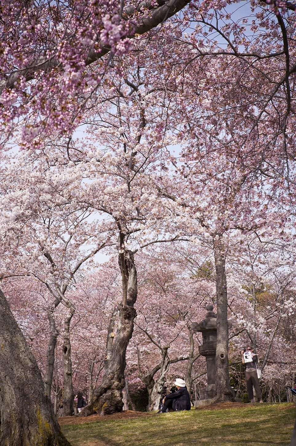In Bloom At Last D C S Cherry Blossoms Have Arrived Meaningful Beautiful Cherry Blossom Cherry Blooms