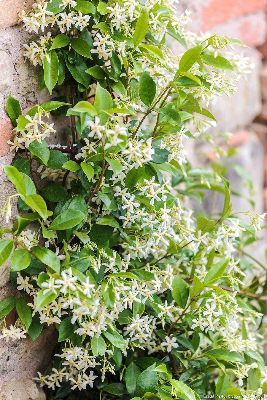 Vrai-faux : tout savoir sur le jasmin en 2020   Plante jasmin, Bouturer jasmin, Faux jasmin