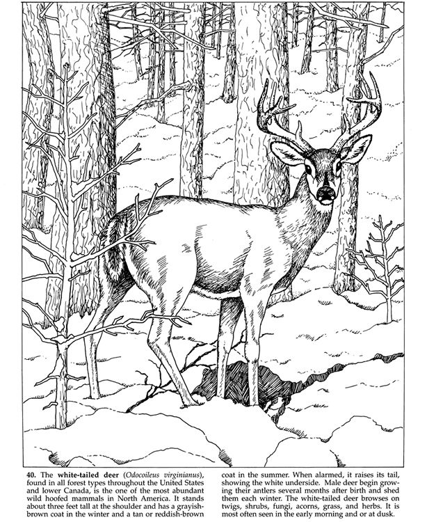Welcome To Dover Publications Deer Coloring Pages Animal Coloring Pages Animal Coloring Books