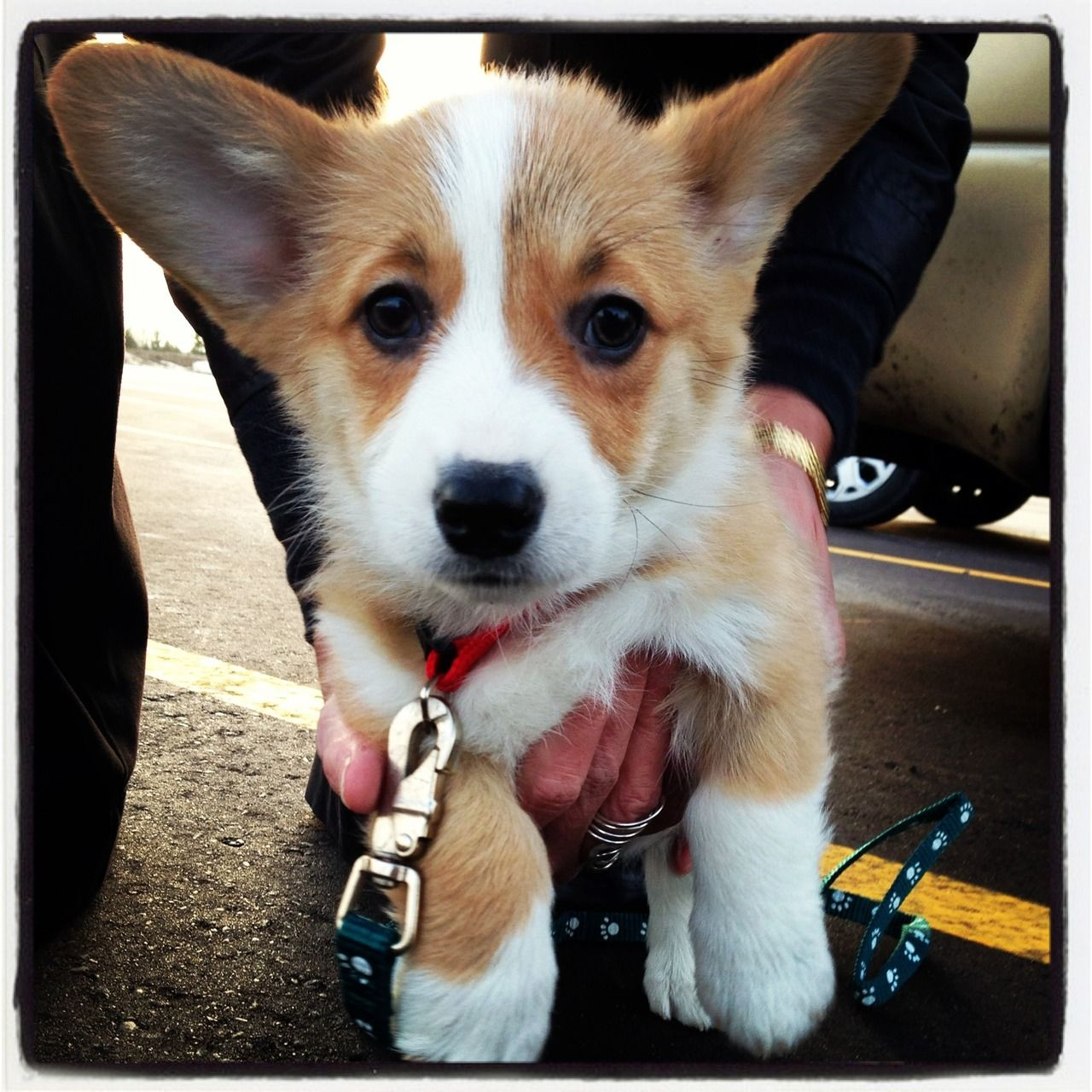 9 Week Old Lucy Corgi Cute Corgi Corgi Puppy