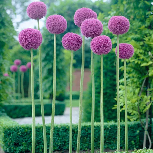 Giant Allium Bulbs Allium Giganteum Bulbs Persian Onion High Country Gardens In 2020 Allium Giganteum Allium Flowers Giganteum