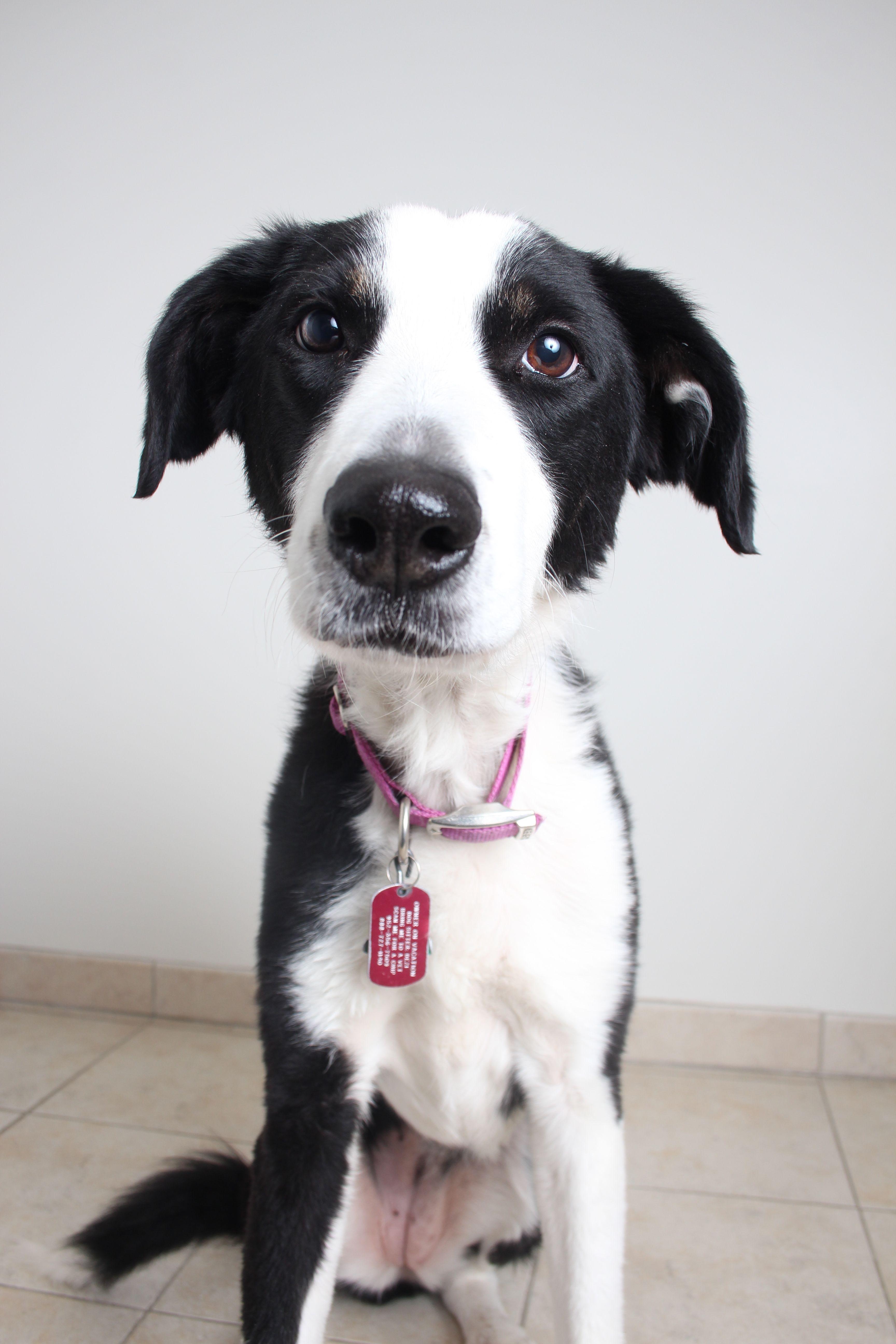 Border Collie Dog For Adoption In Eden Prairie Mn Adn 495353 On Puppyfinder Com Gender Female Age Adult Dogs Border Collie Collie