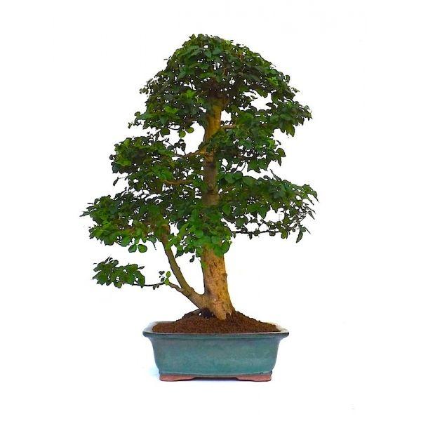 vente de bonsai en ligne ligustrum indon sien de 63 cm 140102 sankaly bonsa professionnel du. Black Bedroom Furniture Sets. Home Design Ideas