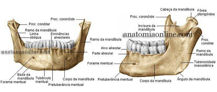 Mandíbula – vista anterior Mandíbula - vista posterior | Referências ...