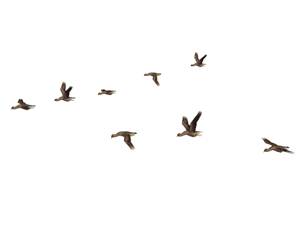 birds png  Google Search  Birds For Photoshop  Pinterest
