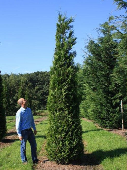 Image Result For Thuja Plicata Excelsa Couple Photos