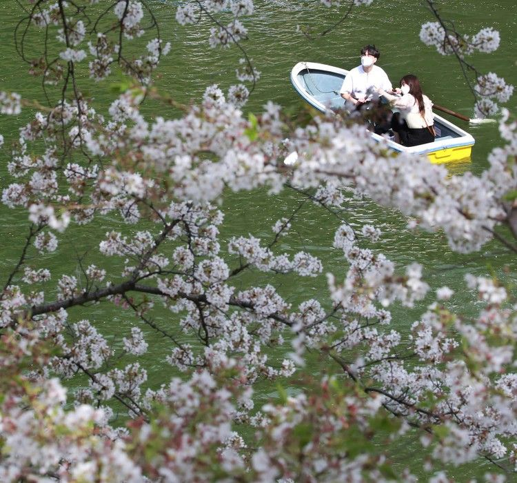 Japan S Kyoto Cherry Blossoms Peak On Earliest Date In 1 200 Years A Sign Of Climate Change The Washington Post In 2021 Japan Cherry Blossom Yoshino Cherry Tree