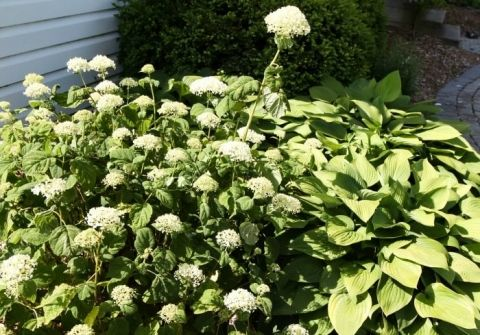 Try This Simple Hydrangea Trick If Your Plants Never Quite Look As Beautiful As You D Like Them T Planting Hydrangeas Beautiful Flowers Garden Hydrangea Garden
